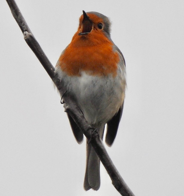 Screaming Robin