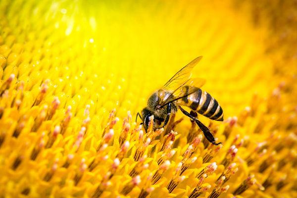 bees-flower_38810-465.jpg