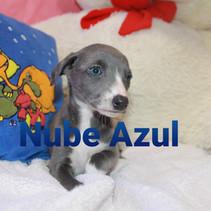 whippet azul blue