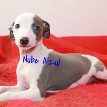whippet blue y blanco