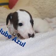 Lebrel Whippet Criadero Nube Azul