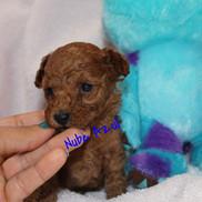 Caniche Toy Nube Azul