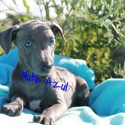 Piccolo Lebrel Italiano Nube Azul