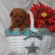 Caniche Toy Miniatura