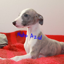 whippet atigrado blue y blanco
