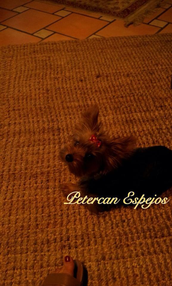 criadero yorkshire terrier