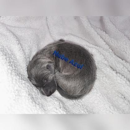 Piccolo lebrel italiano hembra Nube Azul
