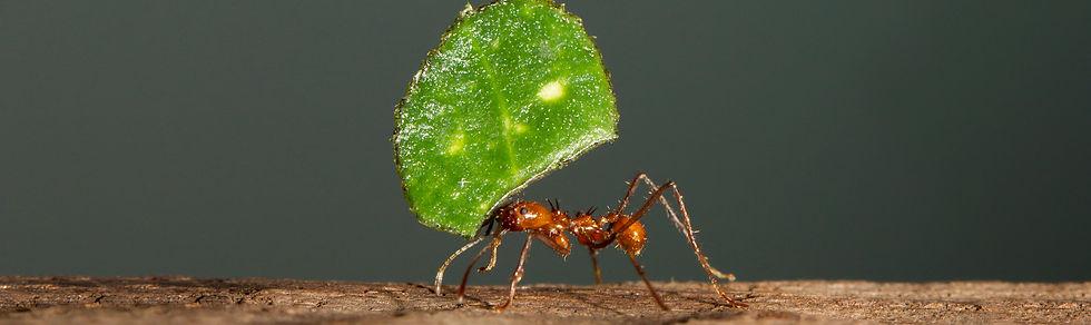 leaf-cutter-ant-header.jpg
