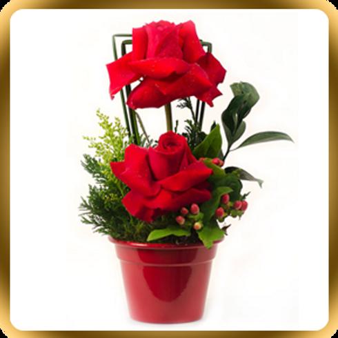 Duas rosas  importadas no baldinho