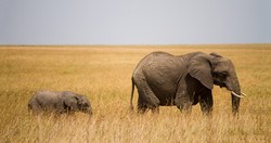 Lightstock-StivTwigg-Elephant