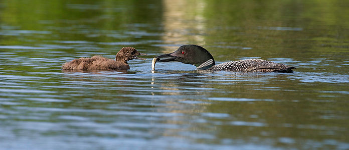 Photo of Loon mother feeding baby
