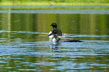 Photo of two common loons