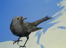 Blue Blackbird
