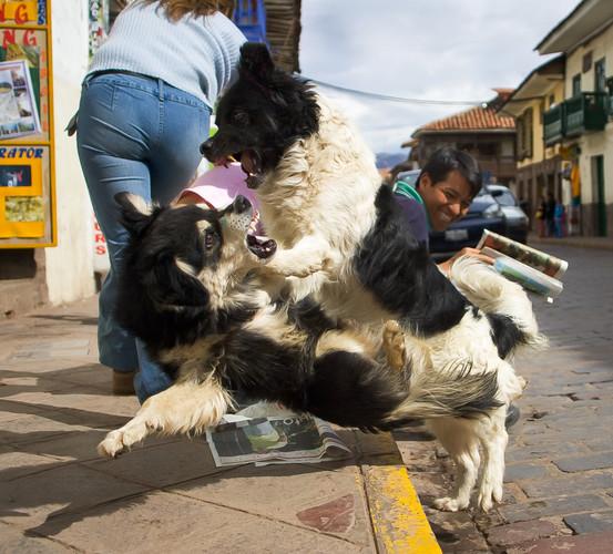 Dogs fight in Cusco