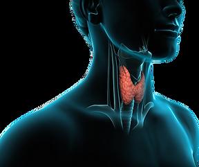 g tiroide.png