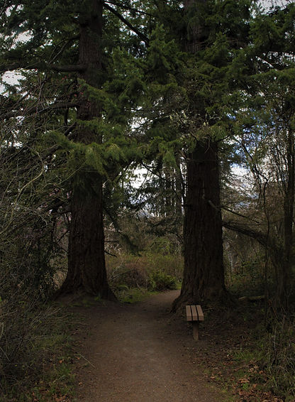 tall trees and trail.jpg
