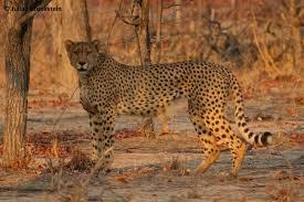 Hwange Park Cheetahs