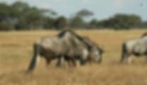 Wild beast in Hwange