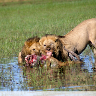 Lions feasting ona a kill