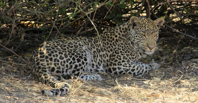Leopard at close range in Chobe