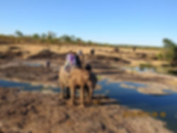 HwanElephant back safari in Victoria Falls tours provided by Shockwave Adventures