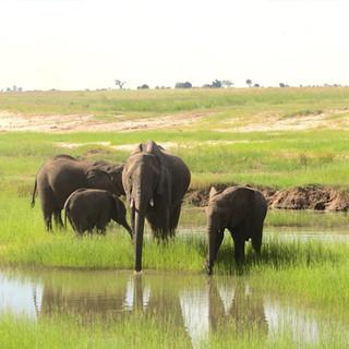 elephants in chobe.JPG