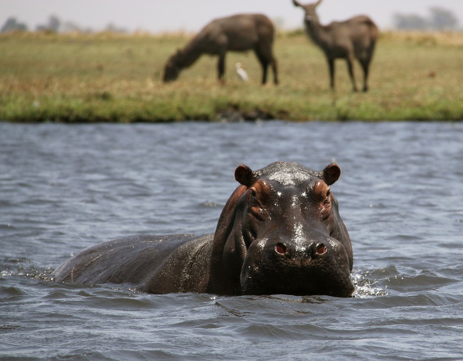 Hippo on Chobe River