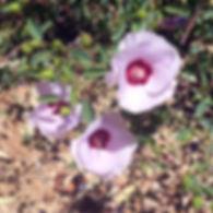 Sturt Desert Rose Aberglasslyn Natural Therapies Centre