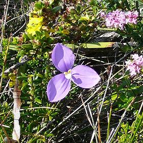 Bush Iris flower WA