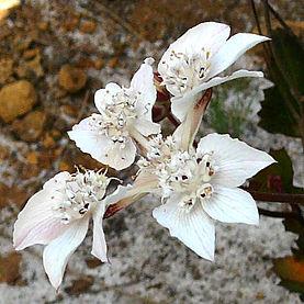 Southern Cross Flower WA