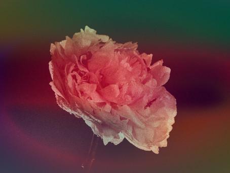 Die Rose und die Kröte