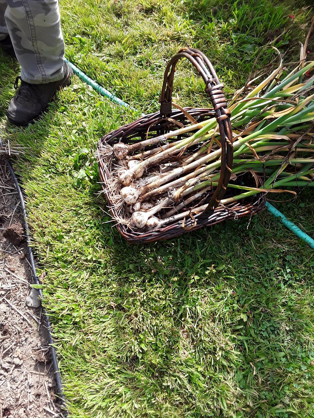 basket of garlic on grass