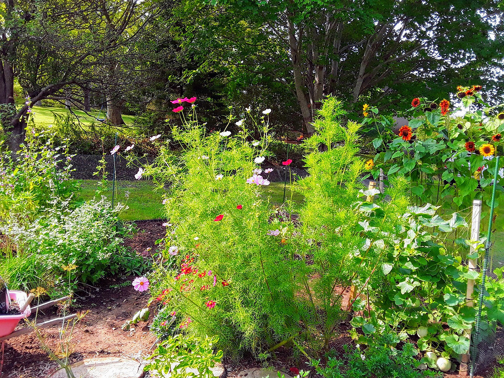 Cosmos and sunflowers in bloom in September garden