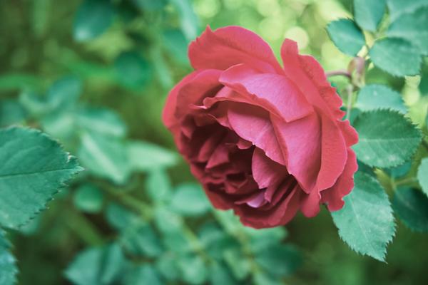 Rose Green 2.png