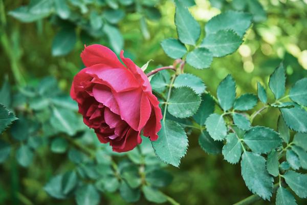 Rose Green.png