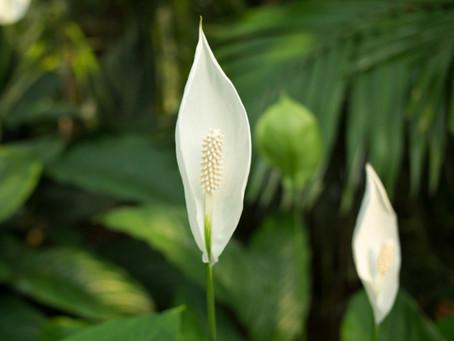 Peace Lily - the Darling of NASA