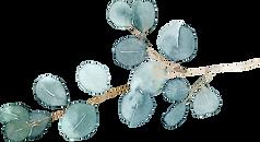Eucalyptus%252520silver%252520dollar_edi