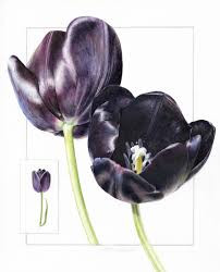 Queen of the Night - The Elusive and Ephemeral Black Tulip