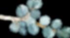 Eucalyptus%2520silver%2520dollar_edited_