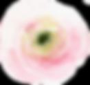 Pink ranunculus.png