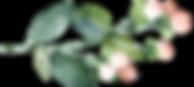 Hypericum%20berries_edited.png