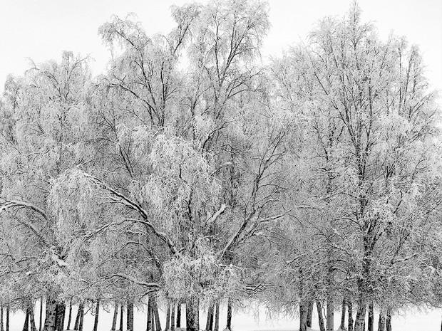 Winter Birch.  Hasselblad 500 C/M, 120mm Makro Planar, Ilford HP5+.