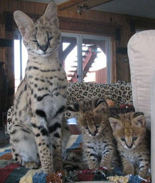 Rose and serval cubs