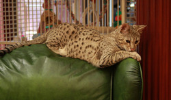 Kenya f2 savannah female