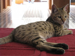Leo-Romeo, f2 male, 6 month old