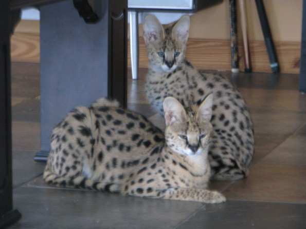 Young servals Rose and Boomboom