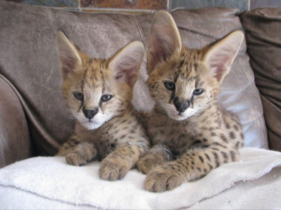 Serval cubs, Soca and Boomboom