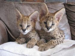 Serval cubs, Soca and Boomboom