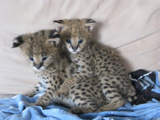 Serval cubs, Bamboo and Palissa