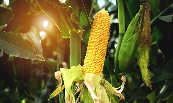 corn-is-bright-green-in-the-corn-field.j